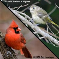 Cardinal (bottom) and Vireo (top)