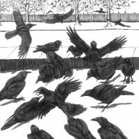 Crows at a crow funeral - illustration by Tony Angell