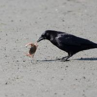 Crow with crab