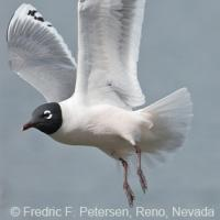 Franklin's Gull in flight