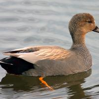 The Gadwall