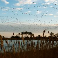 Geese in flight over a marsh