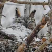 Great Horned Owl in nest covered with snow
