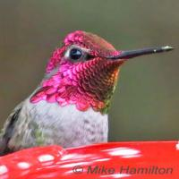 Male Anna's Hummingbird at feeder