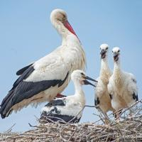 White Stork with young