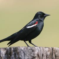 A Tricolored Blackbird seen in right profile, its black body shining in the sun, the wing showing a red patch with a white line beneath it.