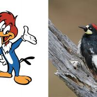 Woody Woodpecker and an Acorn Woodpecker