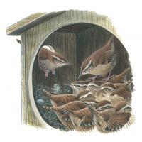 Illustration of wrens snuggling inside a nestbox on a cold night