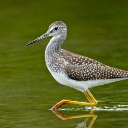 Greater Yellowlegs Gregg Thompson