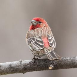 House Finch perched on branch, looking over its shoulder showing red-colored head and throat