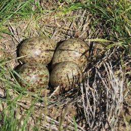 Long-billed Curlew nest and eggs