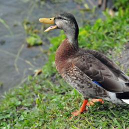 Male Mallard duck in eclipse plumage