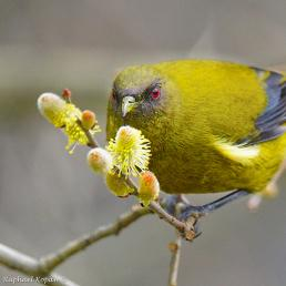 A New Zealand Bellbird perched on a flowering branch, the bird's face lightly speckled with pollen and its red eyes shining