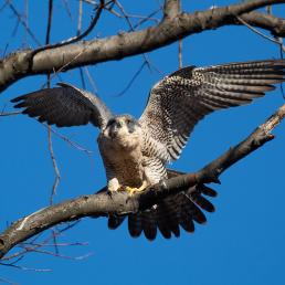 A Peregrine Falcon perched on a branch in the sunshine, holding its wings up, its tail fanned out