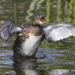 Pied-billed Grebe taking off