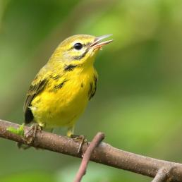 Prairie Warbler perched on branch, beak open, singing