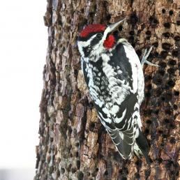 Red-naped Sapsucker feeding at holes drilled in bark