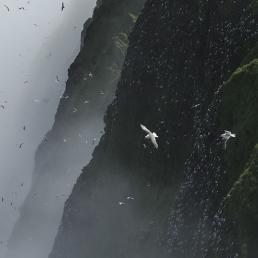 Seabirds over the Pribilof Islands
