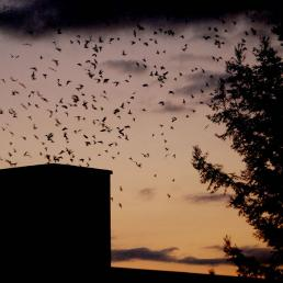 Vaux's Swifts circling chimney roost