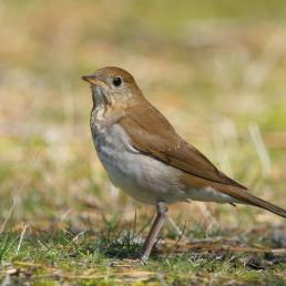 A Veery standing in left profile on grassy ground in sunlight