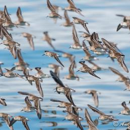 Flock of Western Sandpipers