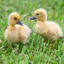 Two Muscovy ducklings standing on grass, their soft fuzzy yellow bodies and dark eyes and beaks seen in overcast light.