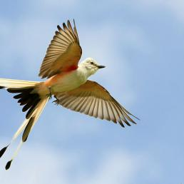 Scissor-tailed Flycatcher in flight against a partly cloudy sky, the bird's tail showing the classic split, its pale wings showing red on the underside where it meets the body.
