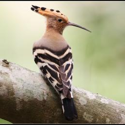 Hoopoe perched on branch