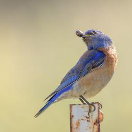 Western Bluebird with a pillbug