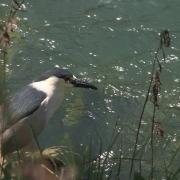black-crowned night heron (american)