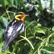 Blackburnian Warbler, Galveston Texas