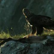 golden eagle_01