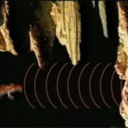 OILBIRDS ECHOES IN THE DARK