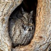 Eastern Screech Owl - Ipswich, MA - Feb. 13, 2011
