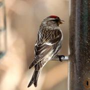 Common Redpoll - Essex, MA - March 09, 2011