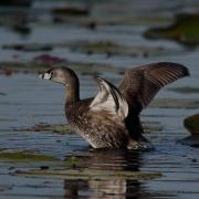 2011-03-24 Pied-billed Grebe