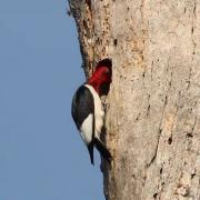 Leucistic Red-headed Woodpecker