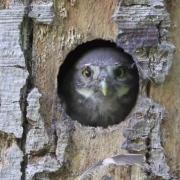 Young pygmy owl