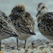 Sanderlings Preening and Foraging along Lake Erie at Magee Marsh