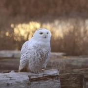 Snowy Owl (HD)