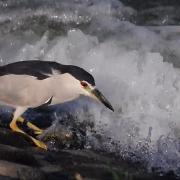 해오라기_Black-crowned Night Heron_국립환경과학원