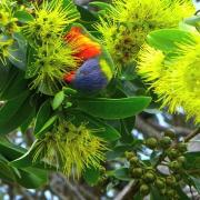 Rainbow Lorikeet feeding on Golden Penda flowers