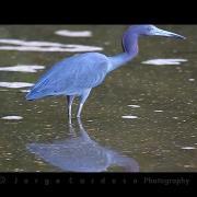 Egretta caerulea / Little Blue Heron / Garça-azul, Garça-morena