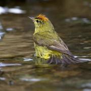 Orange-crowned Warbler 7D and 300mm