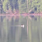 Call of the Great Northern Diver (known in North America as the Common Loon)