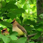 Cedar Waxwing Bonding Behavior
