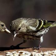 Pine Siskin Birds Feeding