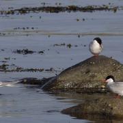 Arctic Terns (Sterna paradisaea), Shetland