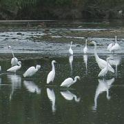 Snowy & Great Egret
