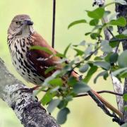 Brown Thrasher Portrait
